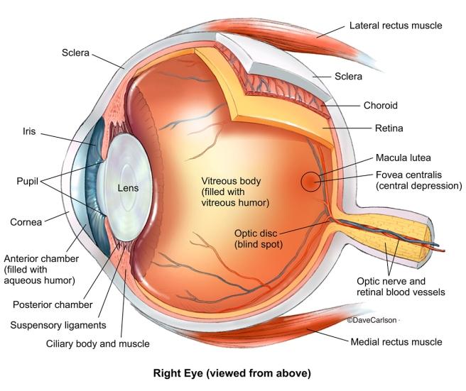 Human Eye Anatomy 2